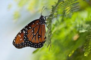 Queen Butterfly 4