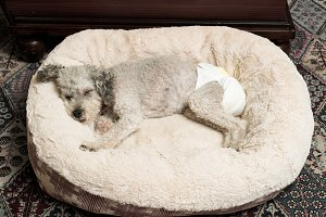 Old grey yorkipoo dog with diaper