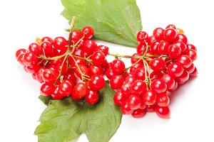 guelder rose berry isolated