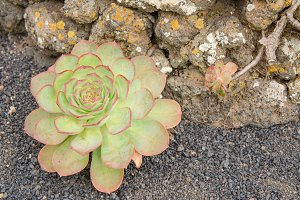 Aeonium, flower of Canary islands.