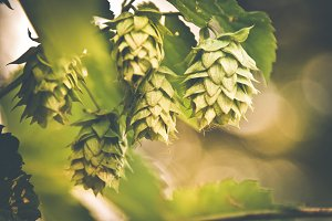Macro Hops with blank space
