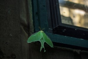 Luna moth closeup