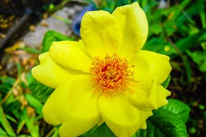 Yellow rose bloomed flower close up