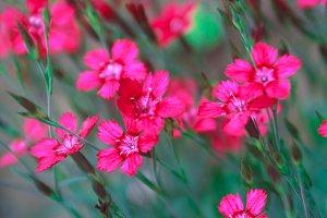 vibrant pink carnation