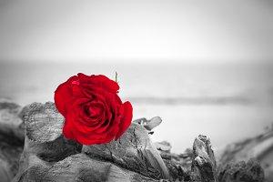 Red rose lying on broken tree.