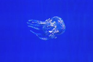 Jellyfish in Motion