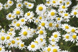 Ox-eye daisy field