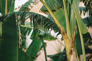 palms leaves