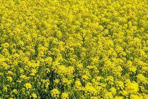 Yellow rapeseed flowers field