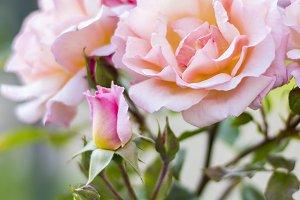 Spring Pink Rose