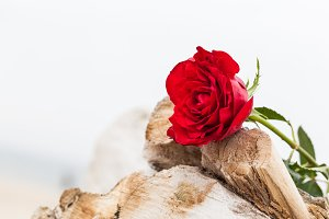 Red rose lying on broken tree.