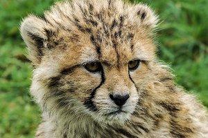 Cheetah Cub 2