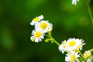 Lawn Daisy Wild Flower Green