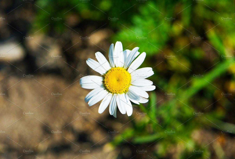 Daisy Colour Nature Photos Creative Market