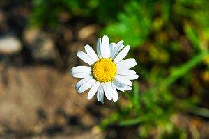 Daisy - Colour