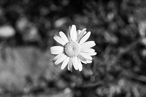 Daisy, B&W, Monochrome Photo