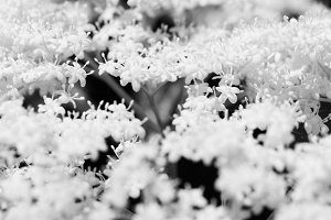 White Flower Cluster - B&W