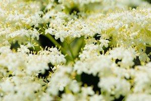 White Flower Cluster - Colour