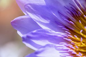 Water Lily, Lotus Flower Close Up