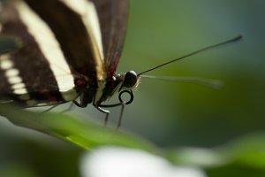 ZebraFly! Butterfly