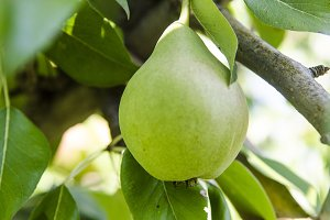 pear on a branch of ripe green
