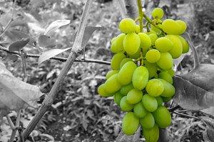 Grapes green fruit selective colour
