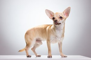 male chihuahua dog white background