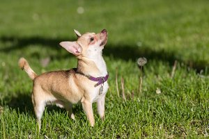 chihuahua dog looking up grass field