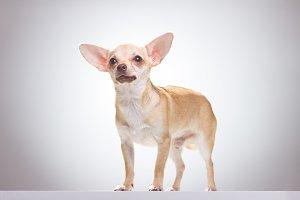 Chihuahua dog standing