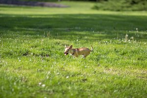 Chihuahua dog running grass field