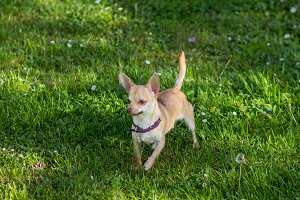 Chihuahua dog grass field green