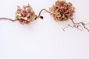 Hydrangea I Styled Stock