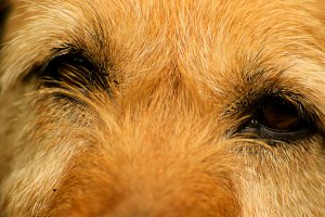Close-up for a cute dog eyes
