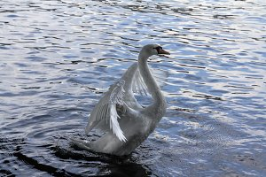 Swan on blue water