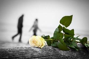 Rose lying on broken tree trunk.