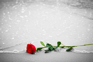Red rose on the seashore.
