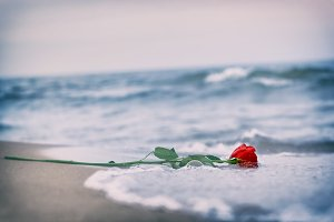 Red rose washed away by waves.