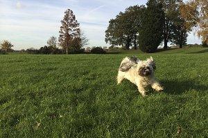 Happy Shih Tzu Dog Running in Field
