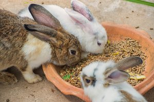 rabbits eating diet pill