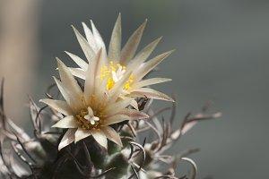 Flowering Turbinicarpus flaviflorus