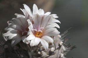 Flowering Turbinicarpus polaskii