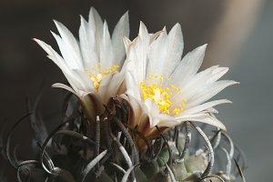 Flowering Turbinicarpus macrochele