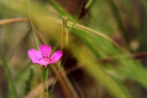 Pink clove on a meadow