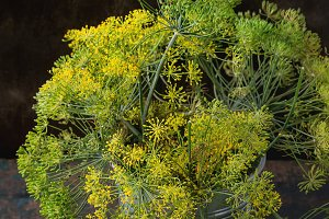 Flowers of green dill