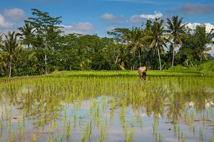 Farmer is planting rice, Ubud, Bali