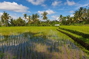 Daytime scenery of the rice fields in Ubud, Bali