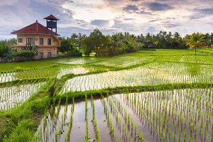 Sunset over the rice field, Bali