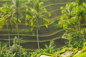 Beautiful rice terraces, Ubud, Bali