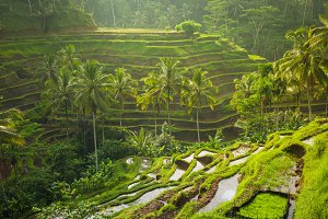 Beautiful rice terraces in the moring light, Ubud, Bali