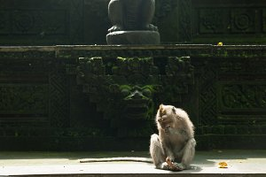 Monkey eating coconut at the temple, Ubud, Bali